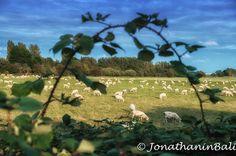 Rye Harbour Nature Reserve Rye East Sussex England  For the ebook Walking Tour of Rye the Most Beautiful Town in England - go to http://ift.tt/2whyiaV  #aroundtheworld #worldtraveler #jonathaninbali #www.murnis.com #travelphotography #traveler #lonelyplanet #england #travelingram #travels #travelling #traveling #instatravel #sheep #photo #photograph #outdoor #travelphoto #exploretocreate #createexplore #exploringtheglobe #theglobewanderer #mytinyatlas #planetdiscovery #roamtheplanet…