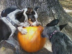 Pumpkin Spice Cattle Dogs