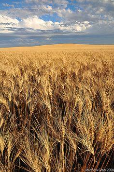 Wheat Fields. Shot near Regina, Saskatchewan, an hour or so before sunset on Aug 30