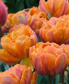 Orange Princess - An award-winning sport of Princess Irene, peony-like bloom is. It is nasturtium-orange with an azalea-pink glow, garnet-purple flames and dark blue-green foliage. Earlier flowering and a good forcer. Bulb size: 12 cm/up.