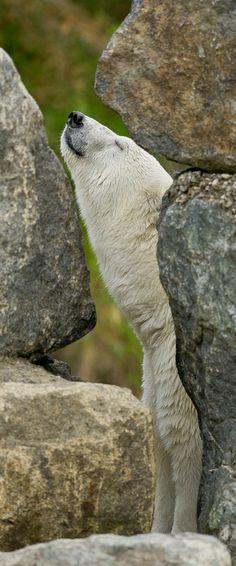 ~~Behind the rocks ~ Polar Bear by Maxime Riendeau~~