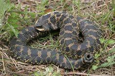 Snakes In Mississippi Ringnecksnakepoisonous Poisonous - Poisonous snakes in mississippi