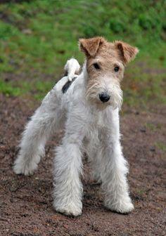 Wire Fox Terrier @KaufmannsPuppy