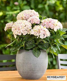 Buy ornamental shrubs now Hydrangea Rembrandt® Elegant Rose' Hydrangea Potted, Hortensia Hydrangea, Hydrangea Colors, Hydrangea Flower, Flower Pots, Hydrangea Macrophylla, Shade Flowers, Large Flowers, Pink Flowers