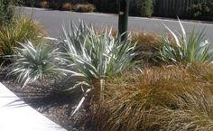 Astelia 'Silver Spear' One of my favourite plants, Landscape Design, Garden Design, Backyard Landscaping, Landscaping Ideas, Garden Projects, Garden Ideas, Coastal Gardens, Native Plants, Garden Planning