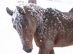 This is the best, all encompassing science on why horses should not be blanketed or groomed in winter, and should be fed free-choice grass hay 24/7.