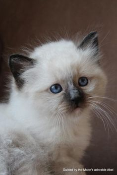Sacred Birman Kitten, Cattery Guided by the Moon, The Netherlands
