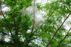 Blog - Fall Webworms in Your Trees - Soils Alive, Inc. - Dallas, TX