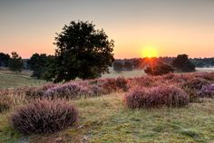 Picture of the day for August 26 2016; Sunrise in the nature reserve Westruper Heide at the flowering of the heath Haltern am See North Rhine-Westphalia Germany