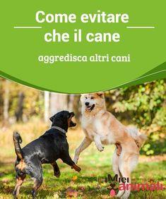 Come evitare che il cane aggredisca altri cani Avete un cane #aggressivo con gli altri cani? Correte ai ripari! In caso di #aggressione, potreste essere #perfino essere denunciati per per lesioni #colpose. #Addestramento