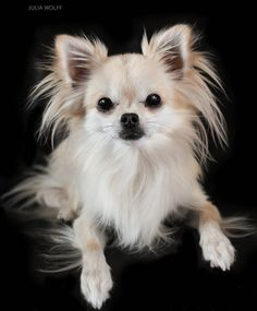 Dog - Chihuahua - Gasper on www.yummypets.com