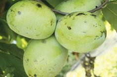 Pawpaw ice cream recipe | The exotic flavors of the pawpaw fruit shine in this cool and creamy treat | kentuckymonthly.com