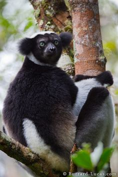 Indri (Indri indri) Largest lemur species of Madagascar. This lemur inhabits the lowland and montane forests along the eastern coast of Madagascar, from the Réserve Spéciale d'Anjanaharibe-Sud in the north to the Mangoro River in the south.