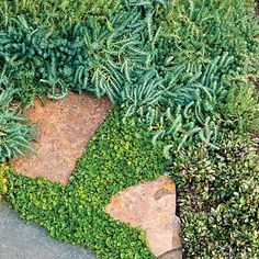 Blue spruce ground cover