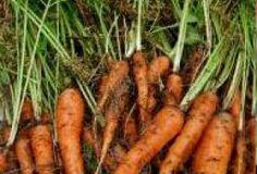 Jak správně pěstovat mrkev