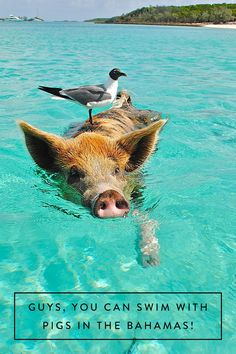 Add swimming with pigs to your bucket list.