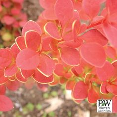 Berberis - Sunjoy® Tangelo Barberry  Features: Deer Resistant, Burn Resistant, Low Maintenence  Hardy Zones: 4 - 8  Moderate-Moist Soil  Color: Red-Orange-Yellow  Plant Height: 3' - 4' Spread: 3' - 4'   Deciduous