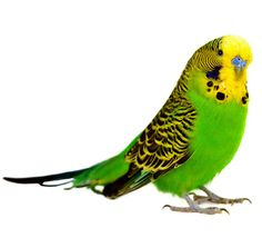 Did you know Parakeets are the most popular pet bird in the U.S.? Learn more...
