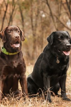 Three labrador retriever sitting in a forest Golden Retriever Labrador, Labrador Retrievers, Golden Retrievers, Chocolate Lab Puppies, Chocolate Labs, Animals And Pets, Cute Animals, Dog Gifts, Dog Treats