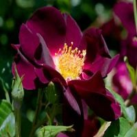 Night Owl Rose  -- This is a climbing wine color rose bush with large deep wine- purple blooms with yellow stamens.    A quick repeat-bloomer with fragrant flowers all season long.