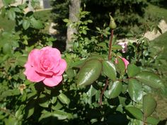 How to Fortify Your Roses Against the Cold Jack Falker is a rose enthusiast who gardens in Minnesota. Minnesota--in case you don't have the USDA Hardiness Map memorized--is entirely a cold climate state, consisting of Zone 3 and 4.