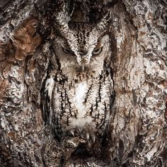 """21.6k Likes, 349 Comments - U.S. Department of the Interior (@usinterior) on Instagram: """"I spy ... The eastern screech #owl is a master of disguise. You better have a sharp eye to spot…"""""""