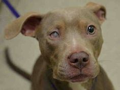 SUPER URGENT 3/17/15 Manhattan Center LUCKY CHARM - A1030565 I am an unaltered female, chocolate and white American Pit Bull Terrier mix. The shelter staff think I am about 10 years old. I was found in NY 10472. I have been at the shelter since Mar 17, 2015. https://www.facebook.com/Urgentdeathrowdogs/photos/a.617942388218644.1073741870.152876678058553/978687242144155/?type=3&theater