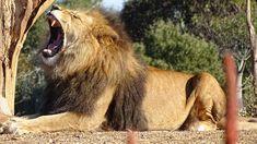 A gyerekistenek kora - Nőkről, lélekről, sorsról. Lion Pictures, Paraiba, Trauma, Home Art, Animals, Lion Images, Hd Photos, Lion Sculpture, Lion