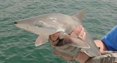 Learn about the blacknose shark with The Fins United Initiative.