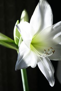 White flower. Amaryllis on black