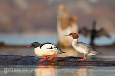 Male and female Common Merganser, roost, Lake Washington.