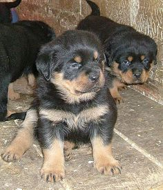 We're getting a Rottweiler when we get the new house❤