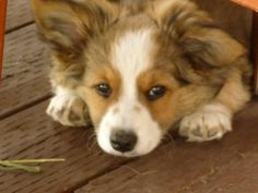 Like this adorbs baby would be perfect, Aussie-Corgi Cross
