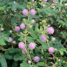 What is the Mimosa tree (Mimosa pudica)? How does a Mimosa plant move? Where is the Mimosa plant found. Biological functions of the Mimosa plant. Video and pictures of the Mimosa plant movement Miniature Plants, Miniature Fairy Gardens, Mimosas, Planting Seeds, Planting Flowers, Mimosa Plant, Mimosa Pudica, Winter Greenhouse, Gardens