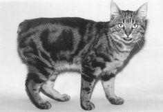 Resultado de imagem para gato manx