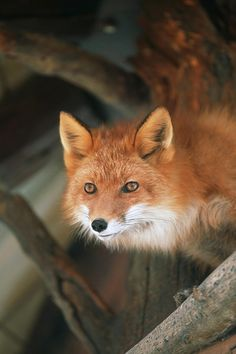 Red Fox Sitting Under A Shelter Photograph by Doug Lindstrand