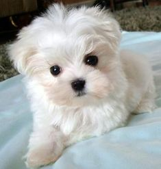 Maltese puppy...looks like my little Cosette