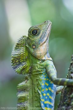 Make great angle head lizard Les Reptiles, Cute Reptiles, Reptiles And Amphibians, Geckos, Beautiful Creatures, Animals Beautiful, Colorful Lizards, Animals And Pets, Cute Animals