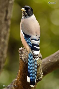 Black Headed Jay...there are so many totally awesome and beautiful birds it is impossible to choose a favorite!