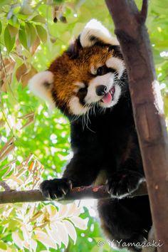 """Red Panda """"Laughter"""" by Youhei Yamazaki"""