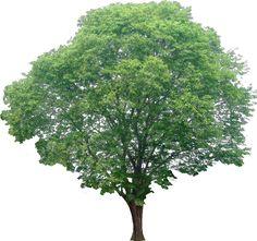 20 Free Tree PNG Images - pterocarpus02L