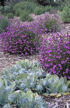 Verbena lilacina 'De la Mina'-frontyard Recent introduction from the Santa Barbara Botanic Garden, selected on Cedros Island by Carol Bornstein. Front Yard Plants, Backyard Plants, Landscaping Plants, Hillside Landscaping, Landscaping Ideas, Draught Tolerant Landscape, Drought Tolerant Garden, Verbena, California Native Garden