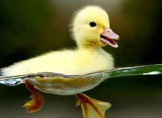 Cute duck swimming