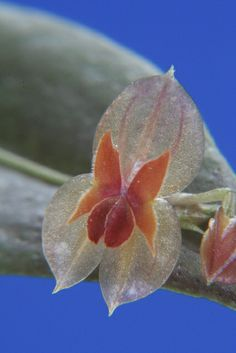Orchid: Lepanthes ophiostele - Flickr - Photo Sharing!