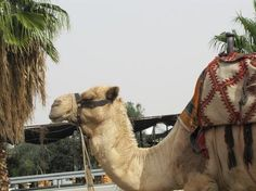 Camel Photo by Shalva Mamistvalov — National Geographic Your Shot