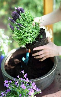 Do you think growing lavender in your region is not possible? Think again. Grow lavender in your garden now: https://gardenerspath.com/plants/herbs/grow-lavender/
