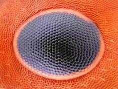 Ant eye