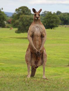 body builder red kangaroo
