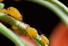 Hemiptera Aphid