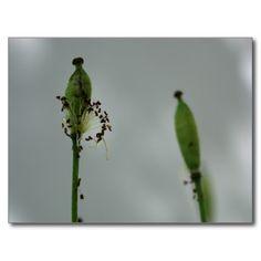 Poppies & shade (5) postcard